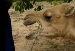 camel charla