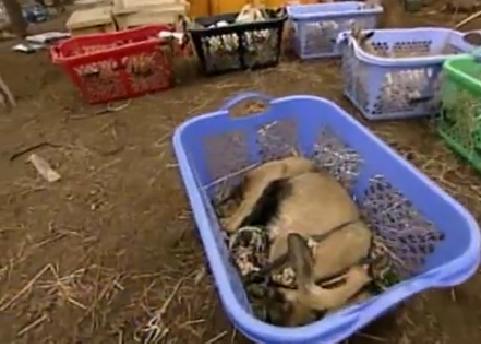 goat sleep