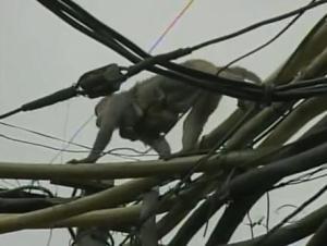 india monkey
