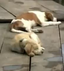 bangkok dogs