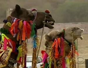 india camel 2