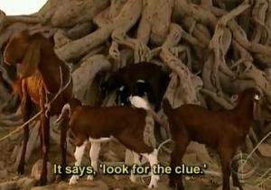 india goats