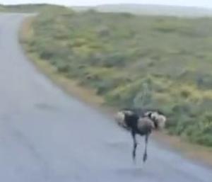 finale ostrich