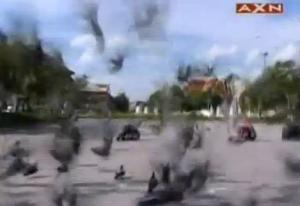 thailand pigeons 2