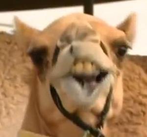 finish camel 5
