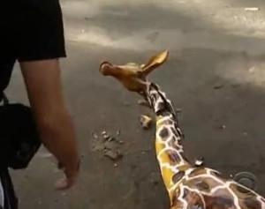 ho chi minh giraffe 2