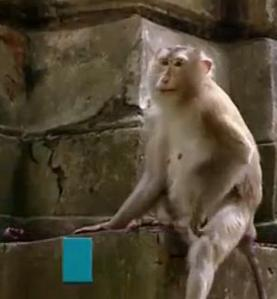 cambodia monkey