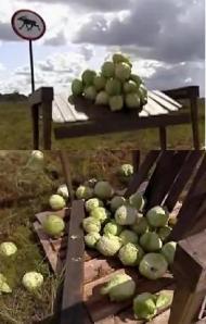 estonia cabbage