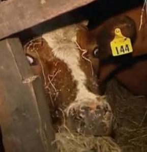 petrohue cow 2