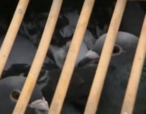 france pigeon