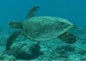 seychelles turtle