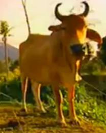 legazpi ox