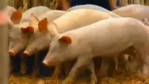 legazpi pigs 2