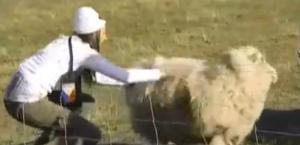 sydney sheep 3
