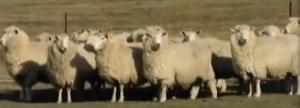 sydney sheep