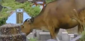 lombok cow 3