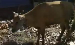 lombok cow