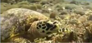 lombok turtle