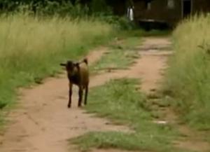 accra goat