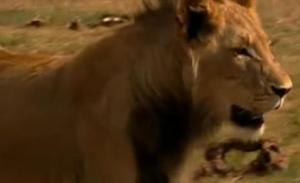 accra lion