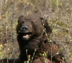 sweden bear