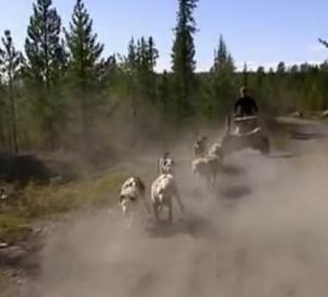 sweden dogs 10