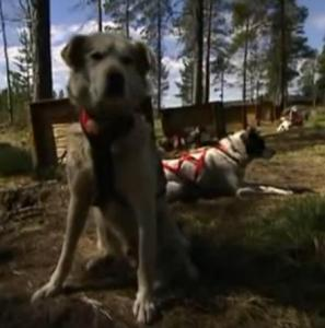 sweden dogs 2