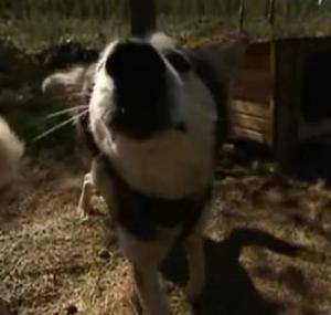 sweden dogs 3