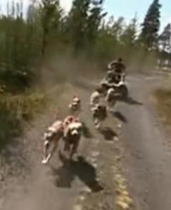 sweden dogs 8