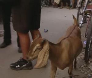 dhaka goat 2