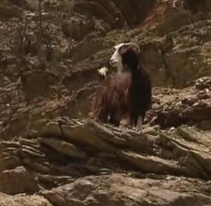oman goat 2
