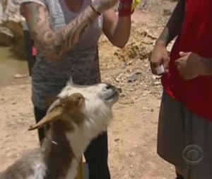 oman goat 4