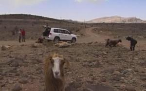 oman goat 6
