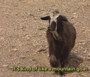oman goat 9