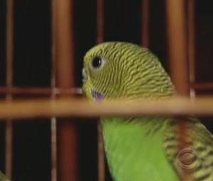 hong kong parakeet