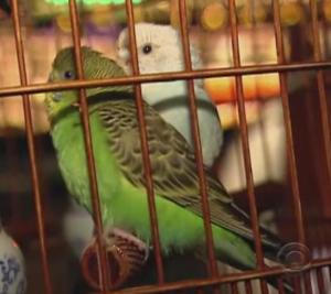 hong kong parakeets 2