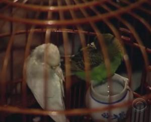 hong kong parakeets 3