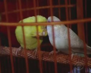 hong kong parakeets 4
