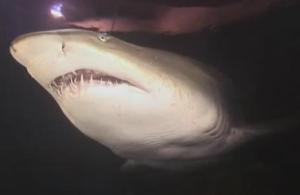 manly shark 2