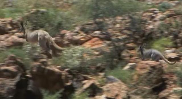 outback kangaroo 7