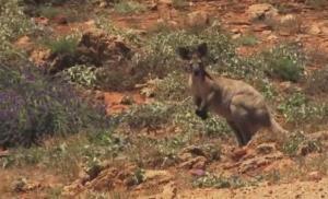 outback kangaroo