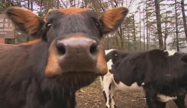 lijiang cow