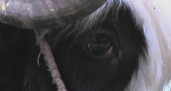 lijiang yak 4