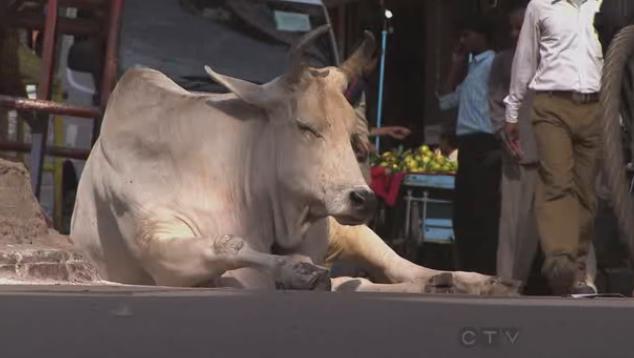kolkata cow