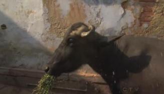 varanasi buffalo 1