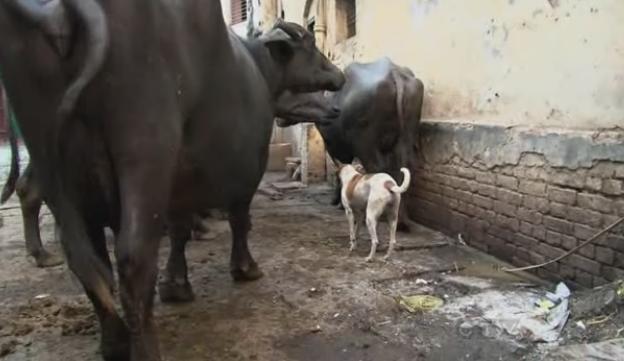 varanasi buffalo 3