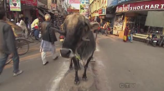 varanasi cow 3