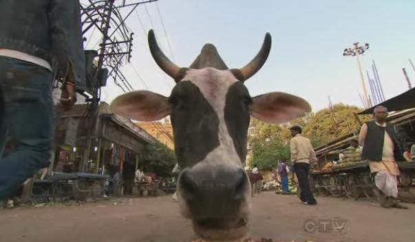 varanasi cow 4