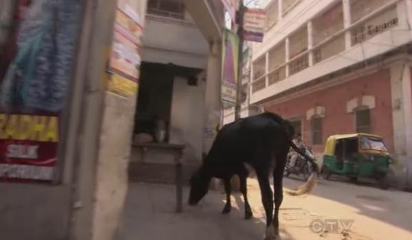 varanasi cow 5