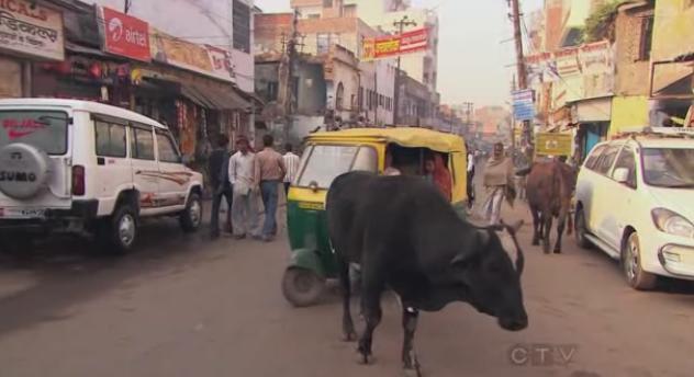 varanasi cow 8